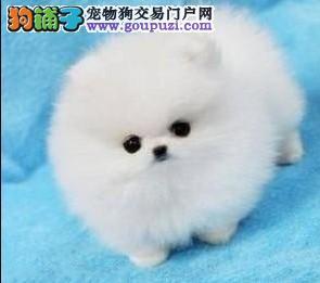 纯种赛级小体哈多利博美幼犬、纯正血统、可全国发货