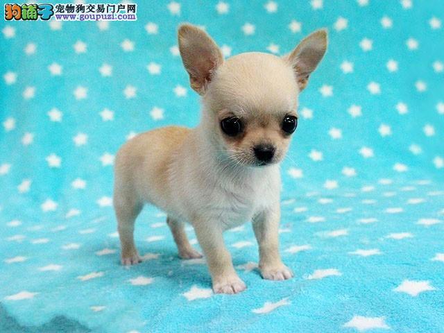 正宗精品吉娃娃幼犬、苹果头、血统纯正、可签订协议