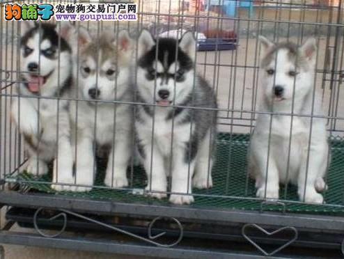 犬舍基地直销、纯种哈士奇幼犬、三火蓝眼、可全国发货