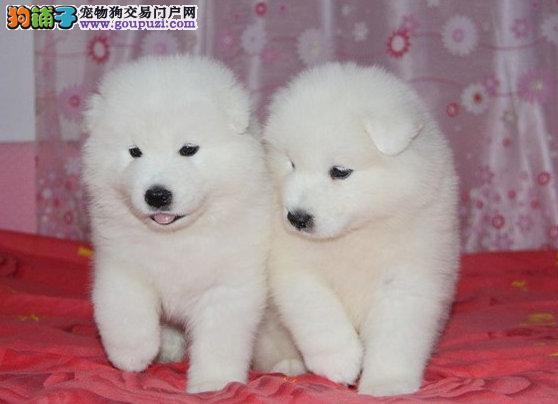 犬舍直销、纯种澳版萨摩耶幼犬、血统纯正、可全国发货