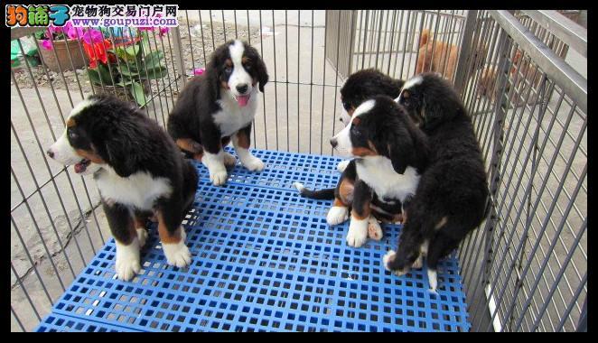 伯恩山犬 品质保证 带血统证 签联盟合同购买有保障
