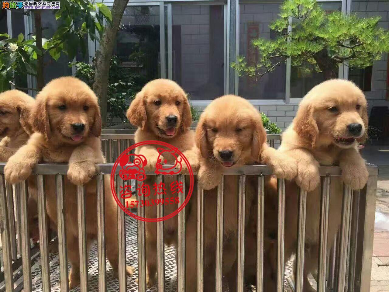 重庆犬舍直销、纯种金毛犬、签协议、支持全国发货