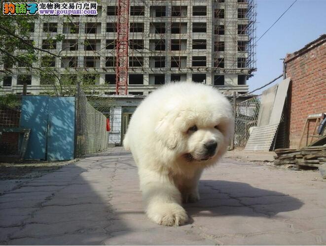 成都纯种大白熊犬出售、犬舍直销、诚信交易、协议质保