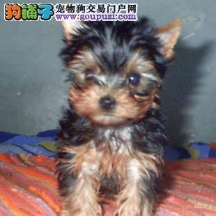 成都纯种约克夏犬出售、犬舍直销、诚信交易、协议质保
