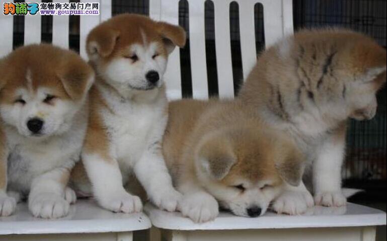 成都纯种秋田犬出售、犬舍直销、诚信交易、协议质保