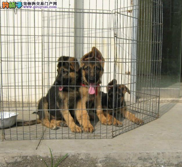 成都德国牧羊犬出售、犬舍直销、诚信交易、协议质保