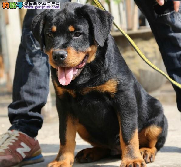 重庆纯种罗威纳犬出售、犬舍直销、诚信交易、协议质保