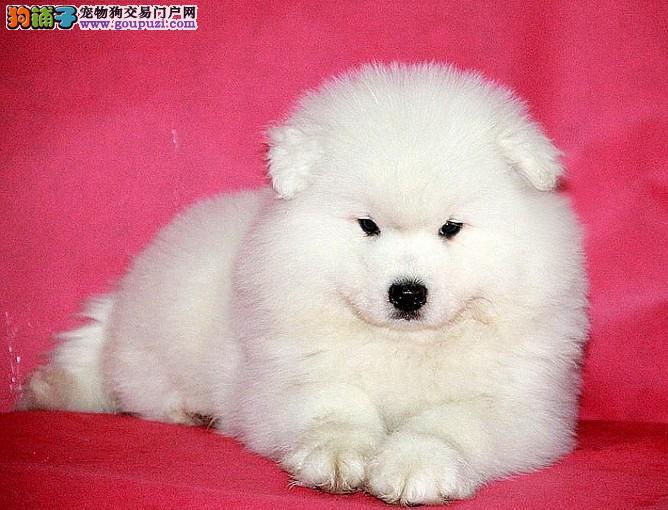 重庆纯种萨摩耶犬出售、犬舍直销、诚信交易、协议质保