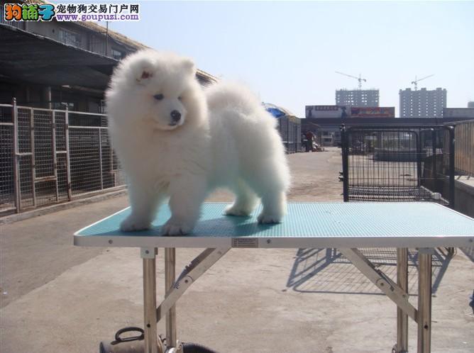 犬舍直销:金毛、拉布拉多、泰迪、哈士奇等十几个品种