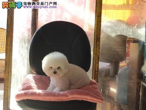 重庆纯种比熊犬出售、犬舍直销、诚信交易、协议质保