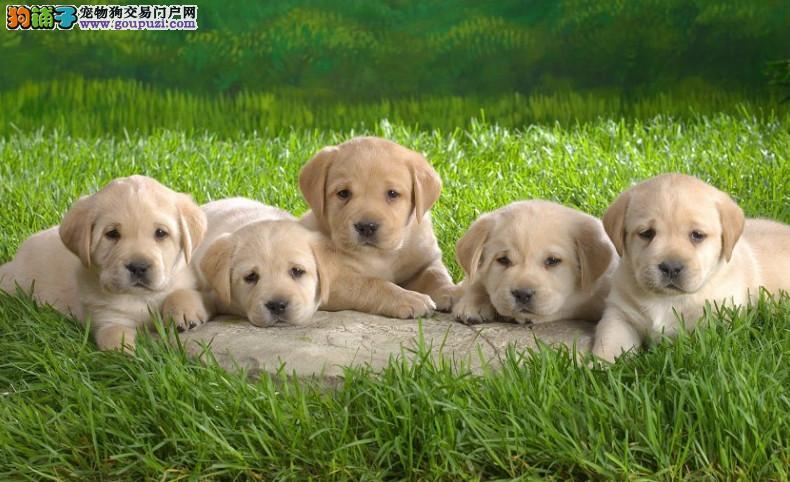 纯种拉布拉多 神犬小七健康品质保证 可送货上门
