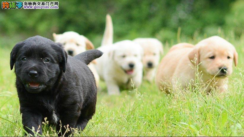 拉布拉多导盲犬血统纯正健康质保可签订协议包运费