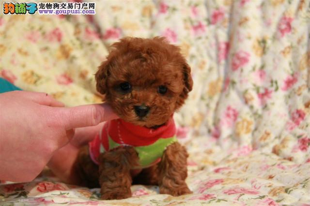 韩系泰迪、微信视频看狗、可送货上门、签协议保健康