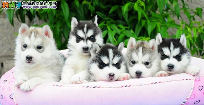 重庆专业犬舍繁殖三火双蓝眼哈士奇、包纯种健康签协议