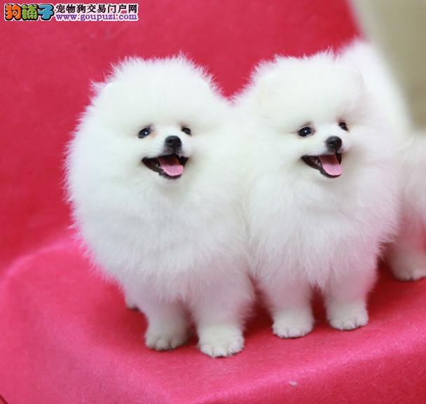 重庆狗场直销、纯种博美犬、证书芯片齐全、赛级品质