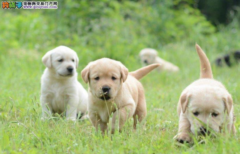 极品拉布拉多幼犬,会上厕所听指令,公母各色均有