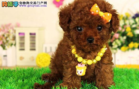 纯韩国微小玩具泰迪终身包纯种健康出现死亡包退换