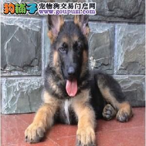 本地市民都说好的德牧犬 想养好狗 请进来看看
