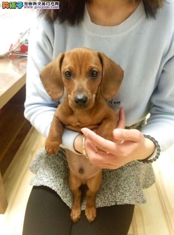 低价出售 纯种腊肠幼犬宝宝 保健康 保纯种 包品质