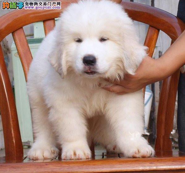 合肥纯种极品大白熊幼犬、包纯种健康。