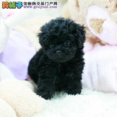 北京康泰名犬出售茶杯型,玩具型,迷你型泰迪犬幼犬