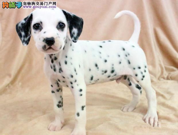 邵阳特价出售机灵可爱的斑点犬