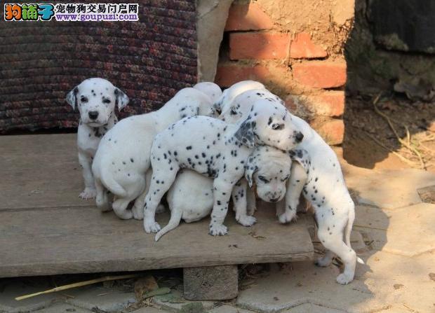 赛级斑点犬,高品质大麦町犬 签协议保健康