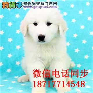 三亚出售纯种大白熊幼犬是很迷人 小狗很活泼 也很乖巧