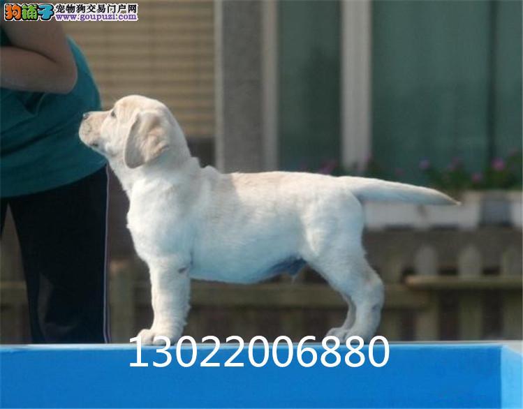 拉布拉多骨量超大 毛色超好 购犬签质保协