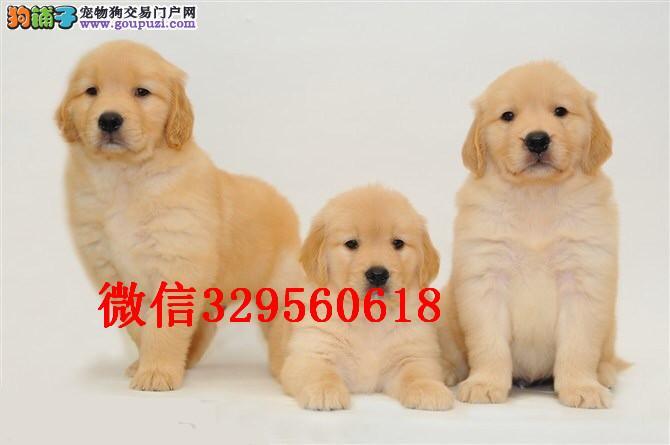 天津哪里有卖金毛的 纯种金毛多少钱 美系金毛犬出售