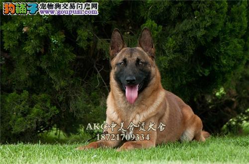 重庆最大犬舍新生帅气马犬带证书送用品
