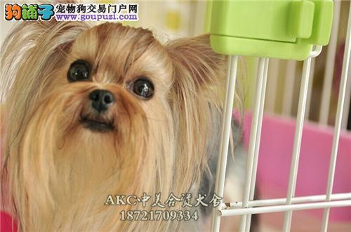 重庆家养约克夏出售迷你犬带证书全国发货