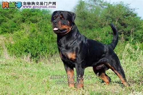 天津出售罗威纳帅气好养护卫犬全国发货