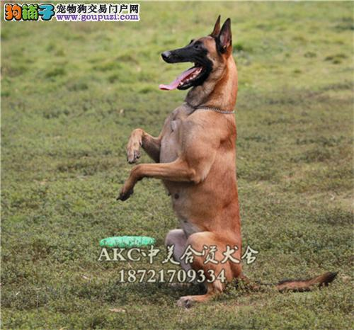 天津马犬出售高品相全国发货