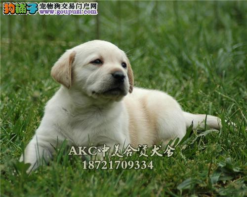 犬舍促销现全部狗狗八折出售 赛级宠物级均有先到先得