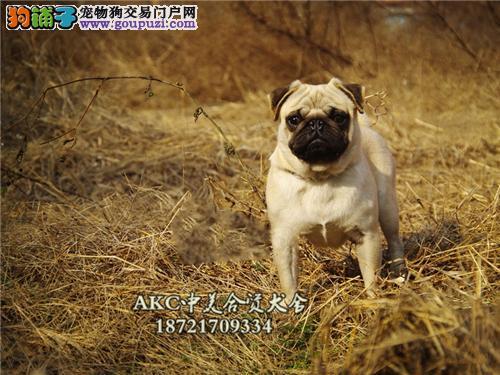 海南出售巴哥帅气小幼犬带证书全国发货