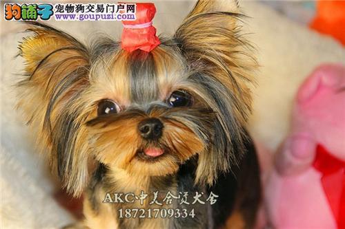 上海约克夏赛级听话迷你幼犬全国发货