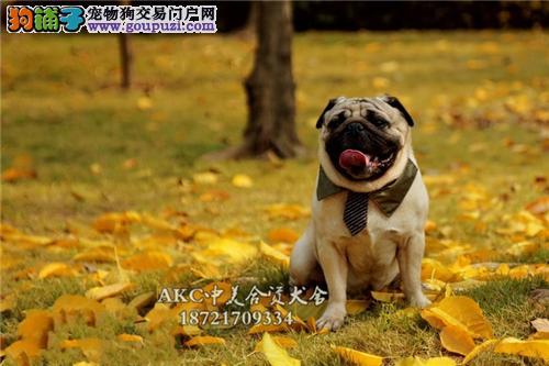 上海犬舍巴哥健康聪明鹰版全国发货