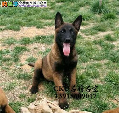 四川家养马犬纯种带证书全国发货