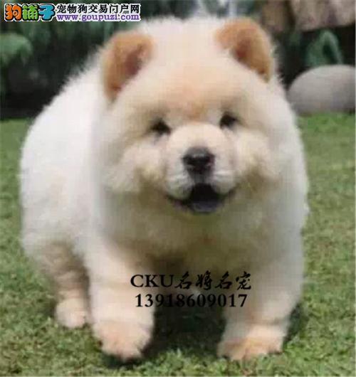 四川松狮纯种紫舌犬驱虫已做全国发货