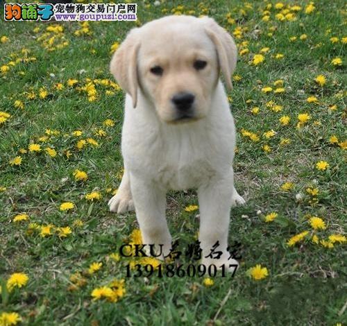 安徽最大犬舍拉布拉多神犬保健康全国发货