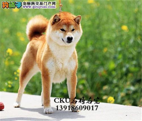 安徽柴犬听话帅气微笑狗狗带证书全国发货