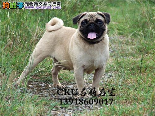 犬舍直销 高品质纯种赛级犬 疫苗驱虫已做 90天包退换