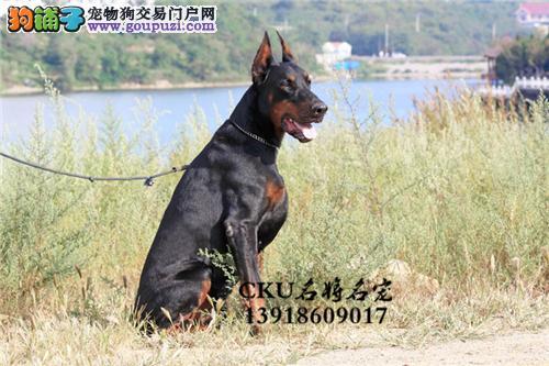 云南杜宾顶级健康犬带证书全国发货