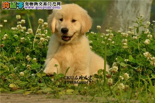 超低价直销黄金被毛的广州金毛犬 保证品质及完美售后