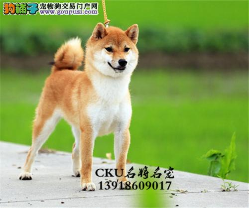 福建本地出售柴犬日系全国发货