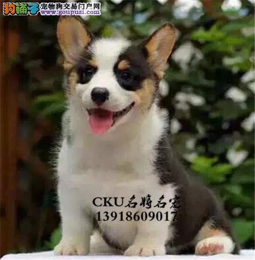 广东柯基高品质精品幼犬疫苗已做全国发货