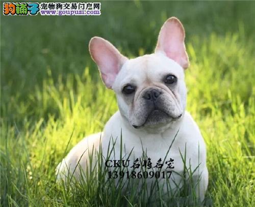 广西出售法牛帅气好养法国斗牛犬全国发货