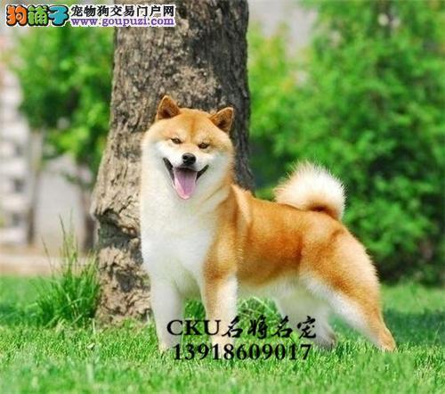 广东柴犬顶级高品相憨厚狗狗全国发货
