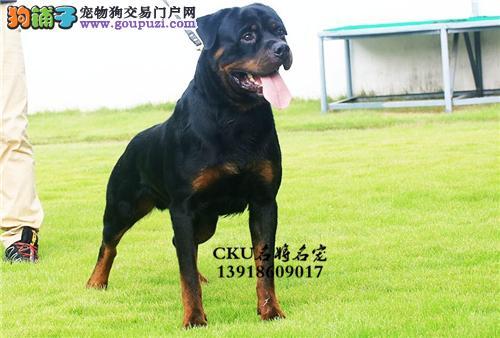 广东罗威纳好养可爱犬保健康全国发货